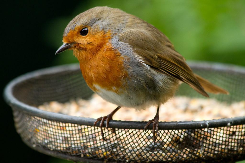 Best 28 robin bird feeder i love robins dome feeder for Kodi weihnachtsbaum