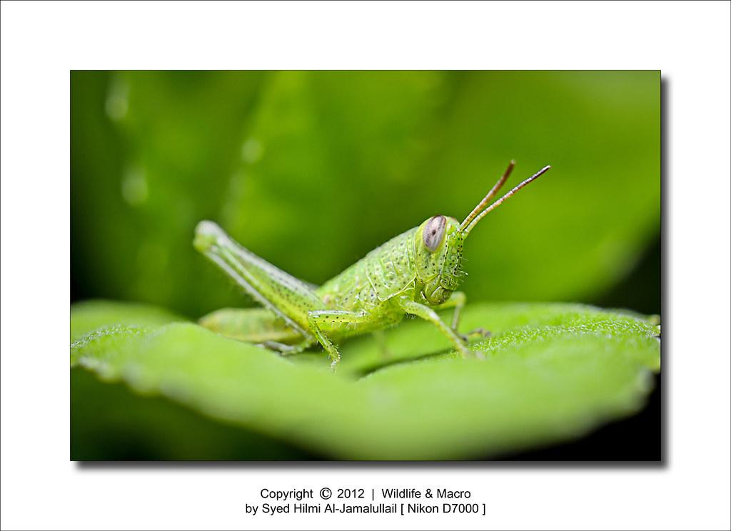 Macro Cute Grasshopper Wildlife Macro Close Up By
