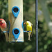 Goldfinch and House Finch at the Feeder