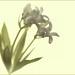 Toned Macro Flower