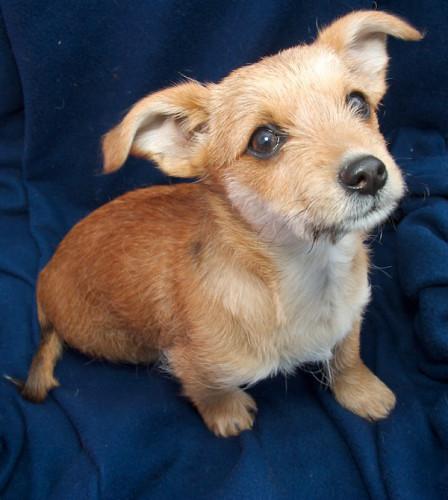 STELLA | Dachshund/Terrier Mix | — ADOPTED — Meet STELLA ... | 448 x 500 jpeg 63kB