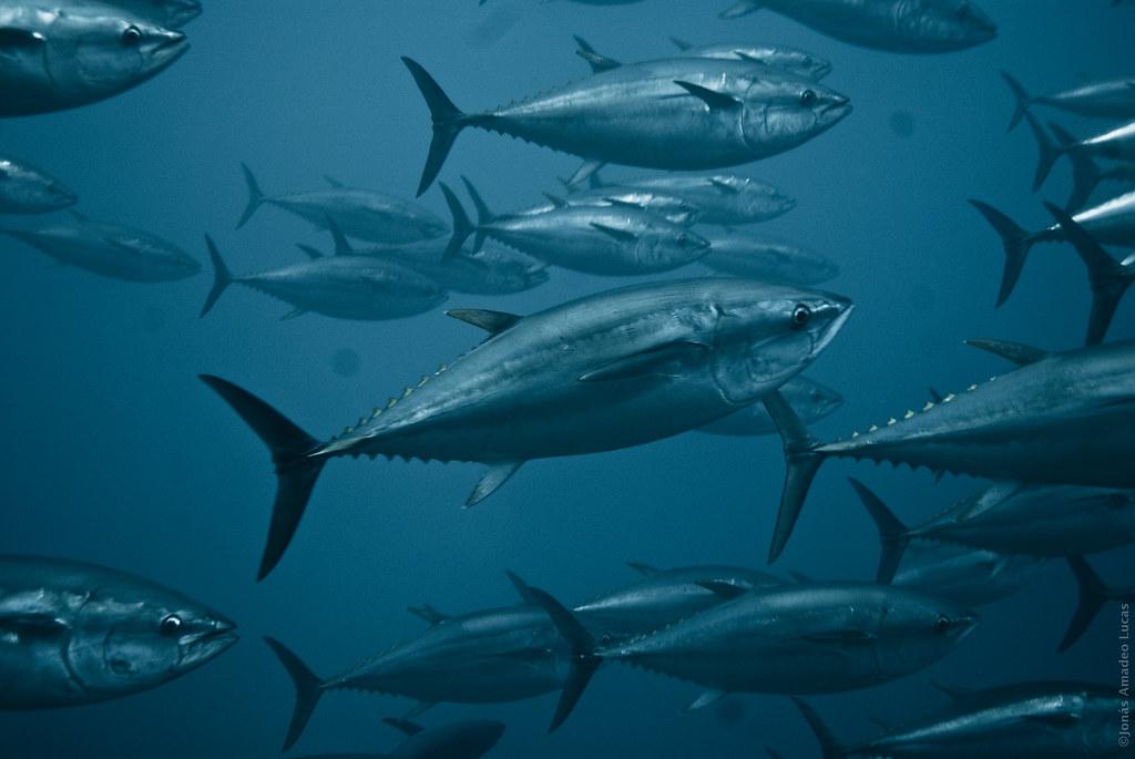 Chicharron  de atun peruano receta peruana