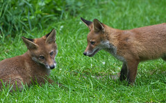Young Foxes 1