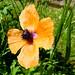 Papavero arancione