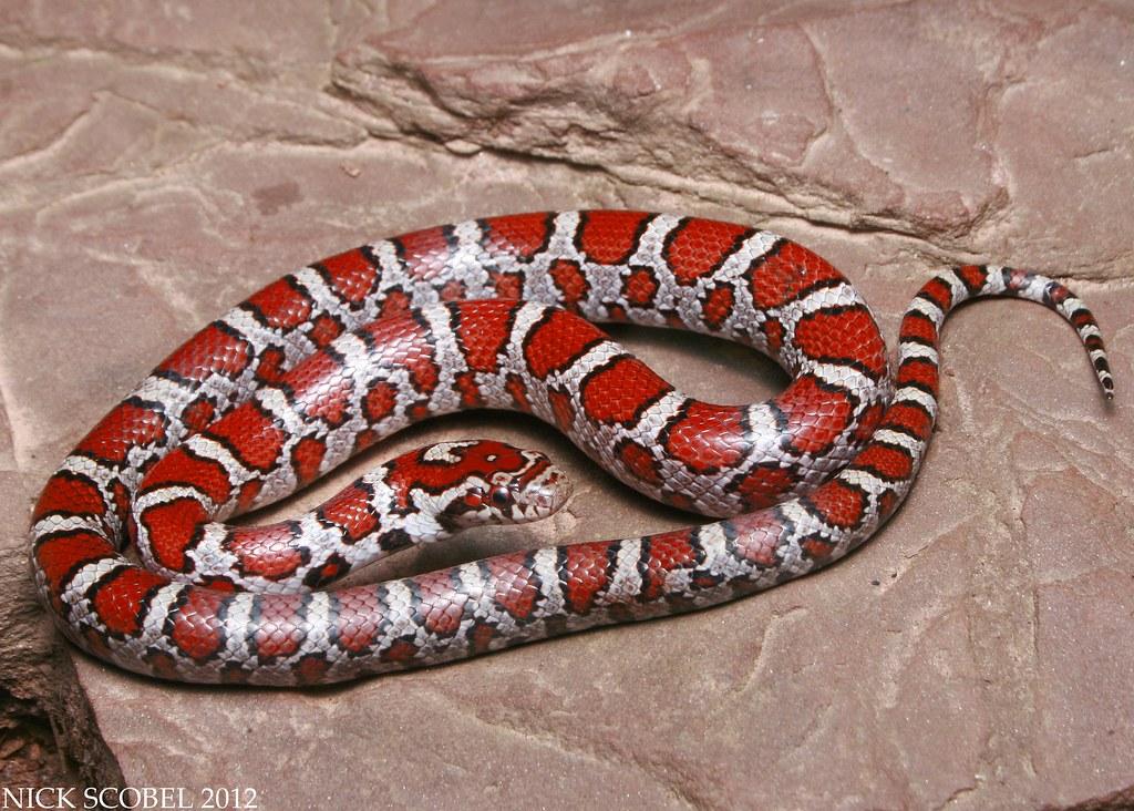 Eastern Milk Snake   Lampropeltis triangulum triangulum ...
