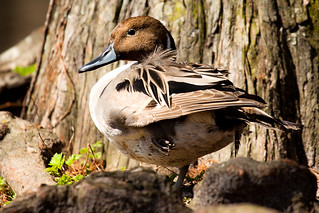 Northern Pintail | by Lou FCD