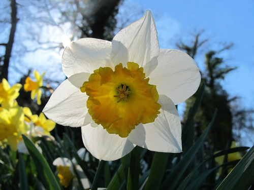 Backlighted Narcissus  - HAPPY EASTER !!! | by Batikart