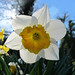 Backlighted Narcissus  - HAPPY EASTER !!!
