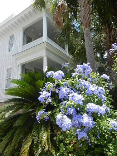 Hydrangeas at 12 Rutledge Avenue | by mhlucero