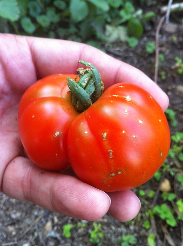 First tomato of 2012 | by randomduck