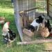 Chicken Bert 4 - FarmgirlFare.com