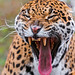 Yawning female jaguar