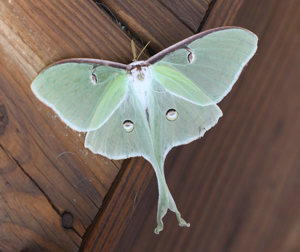 Luna Moth Laying Eggs - In The Wild