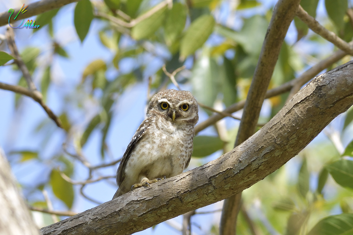 Spotted_Owlet_4720