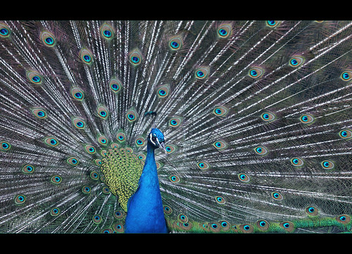 Pavo Real | by conchita2010