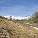 ...un tappeto di soldanelle! (Valle di Champorcher, Parco del Mont Avic, Valle d'Aosta - Vallée d'Aoste)