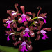 Cattleya leopoldii