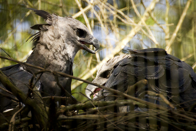 Harpy Eagles Nesting | Flickr - Photo Sharing!
