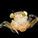 Crab megalope
