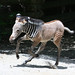 Female Baby Grevy's Zebra 6-2-12  (14 of 25)