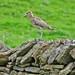Curlew alarm calling chicks