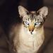 The Siamese Cats - Zelda