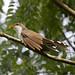 Papa-lagarta-de-euler (Cozzyzus euleri) - Pearly-breasted Cuckoo