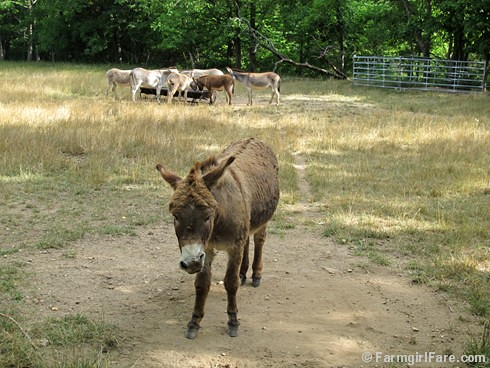 Donkey Doodle Dandy takes a dust bath (5) - FarmgirlFare.com | by Farmgirl Susan