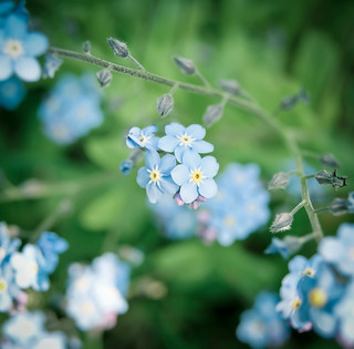 Forget Me Not | by LouiseMelanie