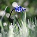 Bluebell and dew-1