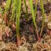 leucophylla rhizome