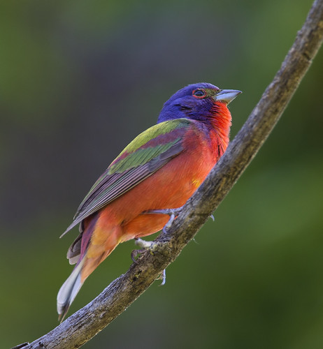 Painted bunting out on a limb... | by A wing and a prayer...