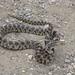 WRTG11M BK  2012-05-23 at 13-20-09 Bull snake