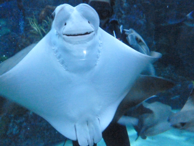 Quot Smiling Quot Manta Rays At The New Orleans Aquarium Flickr Photo Sharing