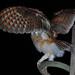 Barn Owl Plumage