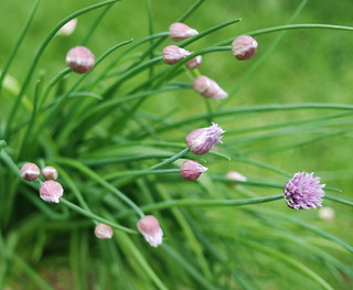 chives 5 | by trini_naenae
