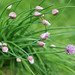chives 5