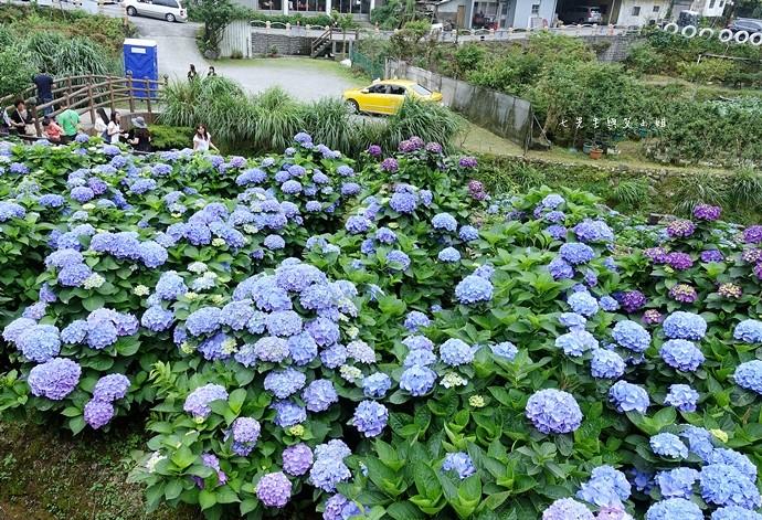 25 陽明山 繡球花 大梯田 竹子湖