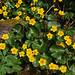 Catha palustris/populage des marais /renonculacées