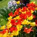 Nikon AF 85f1.8D Tulips @f1.8 51615