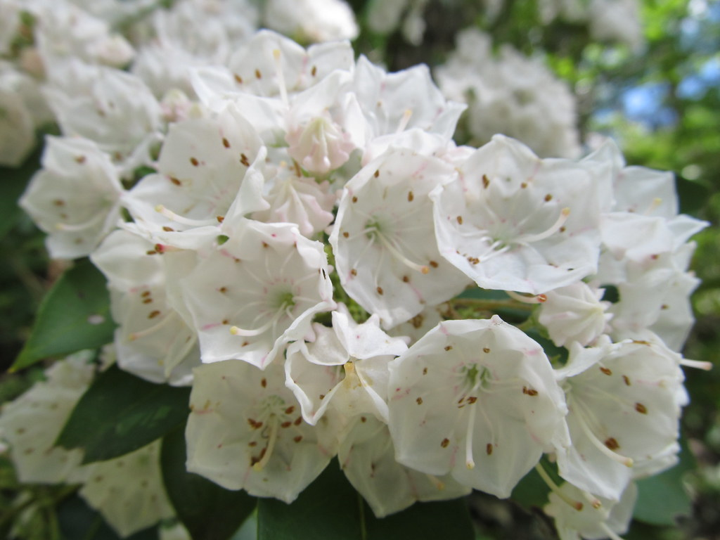"""Pennsylvania State Flower"" Mountain laurel Kalmia latif…"