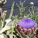 Artichoke Bloom