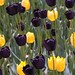 Black & gold tulips at UWM