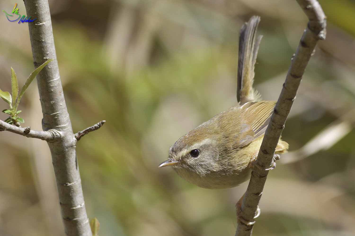 Yellow-bellied_Bush_Warbler_5054