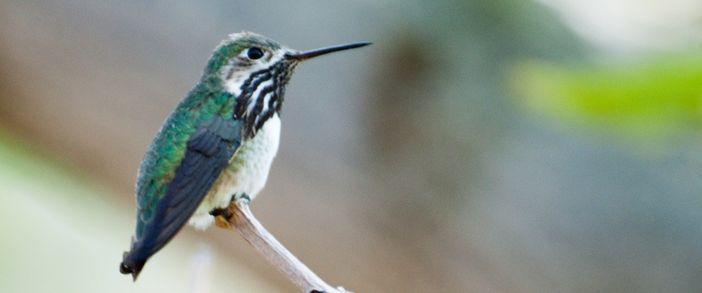 an analysis of song of a hummingbird by graciala limn
