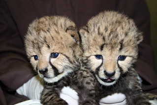 16-day-old cheetah cubs | by Smithsonian's National Zoo