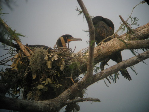 Cormorant nest. | by Lauren P. Hogwash