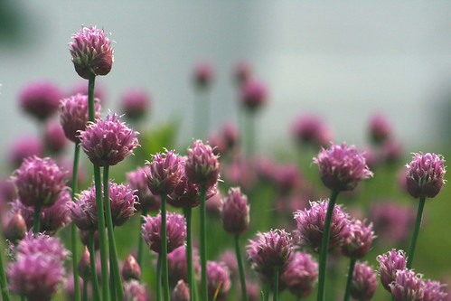 chives | by northernlightphotograph