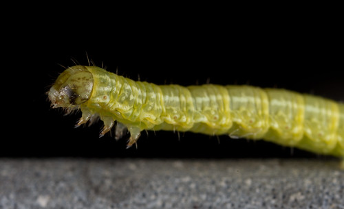 Caterpillar | by Dibbly Dobbler