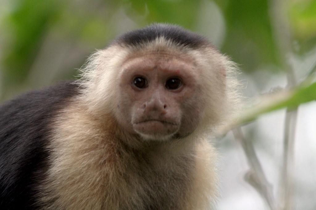 Capuchin Monkey Pictures Capuchin Monkey